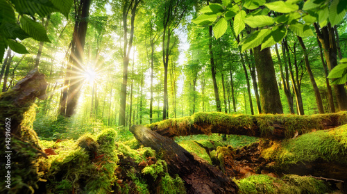 Wall Murals Forest Green forest scenery with the sun casting beautiful rays through the foliage, mossy lumber in the foreground