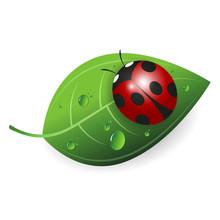 Ladybird On A Green Leaf