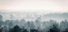 Pine Winter Forest In Mist.