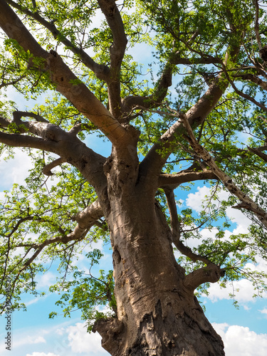 Keuken foto achterwand Baobab Baobab tree trunk, branches, green leaves with blue sky
