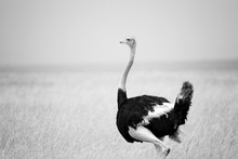Ostrich Standing On The African Savannah  Background Of Tall Grass And A Blue Sky