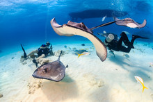 SCUBA Divers Surrounded By Stingrays In Shallow Water