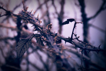 Thorns Bush. Artistic Retro Ed...