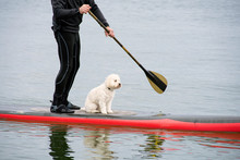White Poodle And Man In Wetsui...