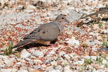 Mourning Dove Eating Seed On The Ground.
