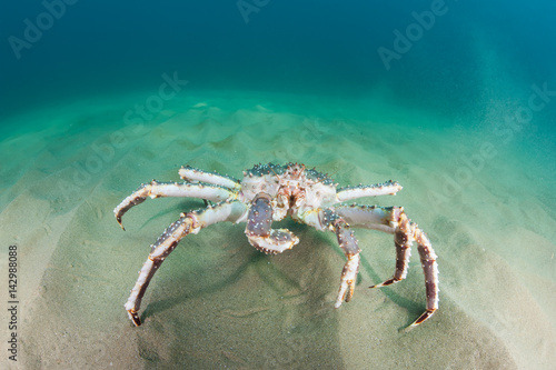 King crab on the seabed