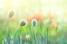 Delicate Fluffy Poppy Buds In A Field On Nature In Sunlight On A Light Green Background Macro. Spring Summer Background Border Template For Design. An Airy Gentle Artistic Image.