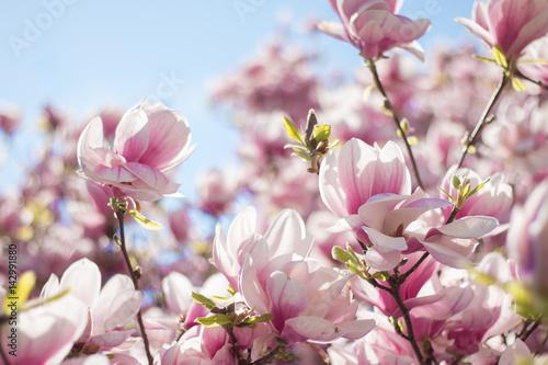 Plakat Różowa magnolia kwitnie na wiosnę