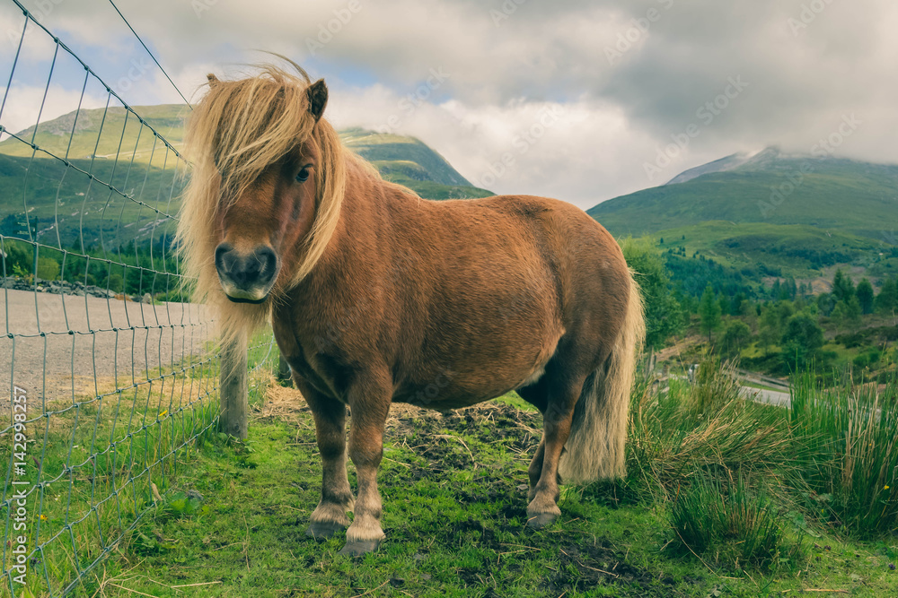 Shetland red pony is grazed on background of mountains.