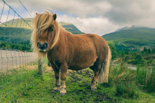 Shetland Red Pony Is Grazed On...