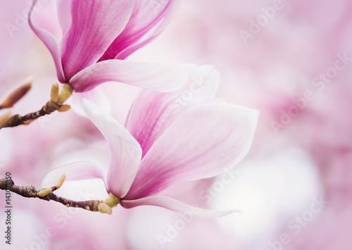 Pink Magnolia Wallpaper Mural