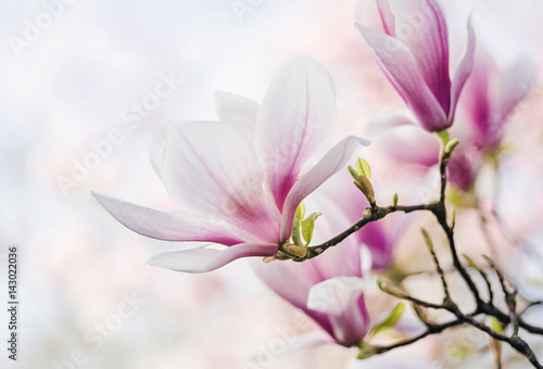 Magnolienblüte Canvas