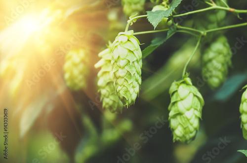 Fotomural Green fresh hop cones for making beer, closeup