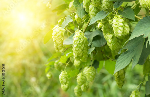 Green fresh hop cones for making beer, closeup