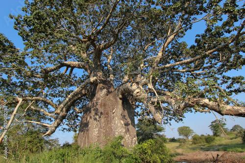 In de dag Baobab Beautiful and huge Baobab at Kissama National Park – Angola