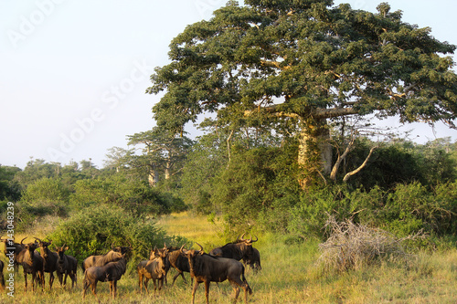 Wildebeest grazing close a baobab at Kissama National Park – Angola Wallpaper Mural