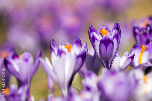 Obraz Beautiful colored crocus flowers - fototapety do salonu