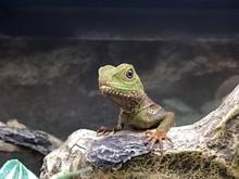Pet Lizard In A Tank