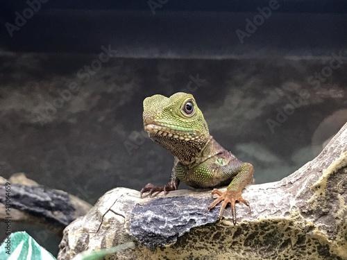Photographie  pet lizard in a tank