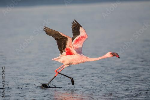 Foto op Aluminium Flamingo Lesser flamingo taking flight (Phoeniconaias minor), Walvis bay, Namibia