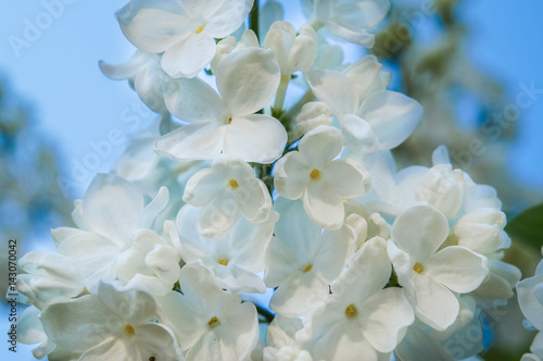 Wall Murals Hydrangea Flowering branch of lilac in the garden