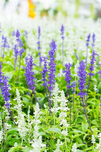 Foto op Canvas Bloemen Green Lavender Field in the summer.