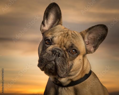 Foto op Plexiglas Franse bulldog French bulldog
