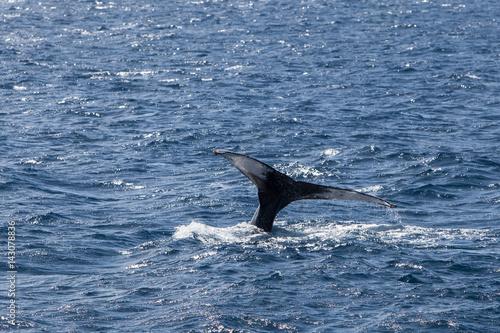 Plakat Humpback Whale Fluke Off New England Coast