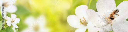 Bee collects nectar (pollen) from the flowers of a flowering quince (Cydonia oblonga) on a green and yellow blurred background of nature, a banner for the site