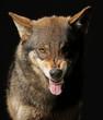 Wolf fletscht die Zähne, frontal als Studioaufnahme