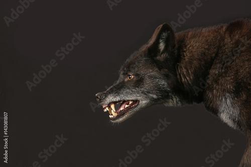 Loup Schwarzer Wolf fletscht die Zähne als Studioaufnahme