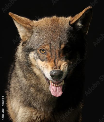 Foto op Plexiglas Wolf Wolf fletscht die Zähne, frontal als Studioaufnahme