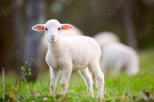 Fototapeta Lamb grazing on green grass meadow