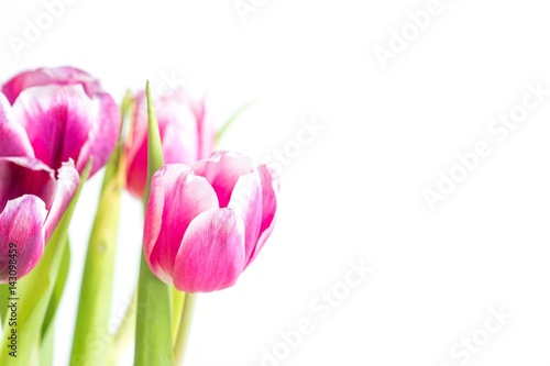 Wall Murals Tulip Beautiful two colored tulips close up on white background