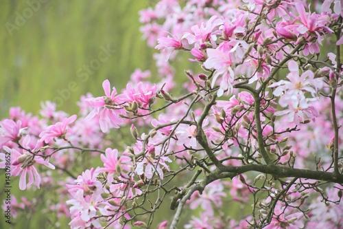 Ast Einer Rosa Sternformigen Magnolie Magnolia Loebneri Leonard