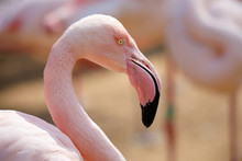 Rose Flamingo (Phoenicopterus Roseus)