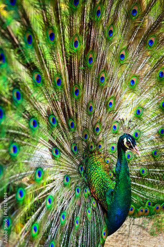Foto op Plexiglas Pauw Peacock spread out wings wide feathers.