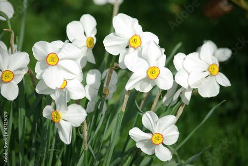 Photo sur Toile Narcisse Narcisses blancs au soleil du printemps au jardin