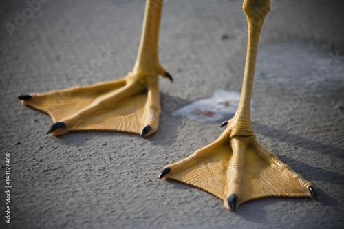 seagull webbed feet