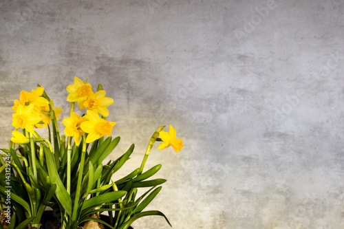 Garden Poster Narcissus Yellow narcissus with concrete background