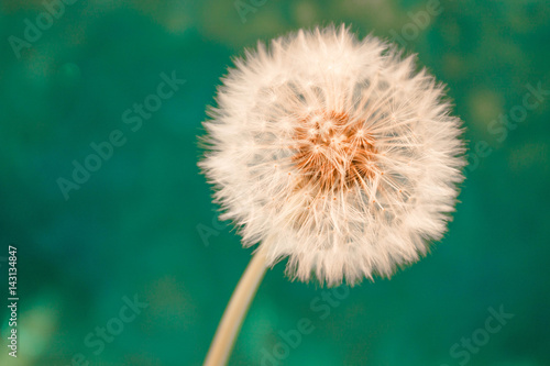 Deurstickers Paardenbloem white dandelion flower with seeds in springtime in blue turquoise abstract backgrouds