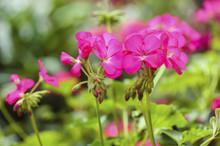 Pink Geranium Flower In Garden Summer