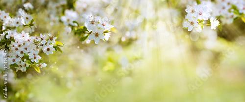 Fotobehang Zwavel geel White blossoms in spring sun
