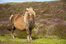Shetland Pony South Uist Outer...
