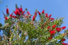 Spring Flowering Bottle Brushes