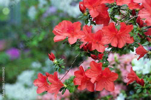 Plakat Piękna kwitnąca azalia
