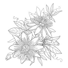 Vector Bouquet With Outline Tropical Passiflora Or Passion Flowers, Bud, Leaves And Tendril Isolated On White Background. Exotic Floral Elements In Contour Style For Summer Design And Coloring Book.