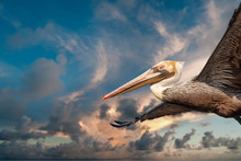 Pelican While Flying At Sunset