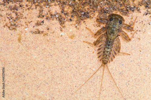 Cuadros en Lienzo  Ecdyonurus larvae scraping biofilm