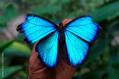 Fototapeta Blue Morpho Butterfly Closeup